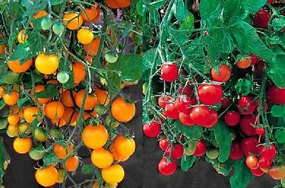 TOMATO TUMBLING TOM MIXED X 6 JUMBO PLUGS  [Hanging Baskets Pots Patio ]