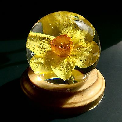 Daffodil Globe Keepsake. Real Narcissus Flower. Home Decor Paperweight