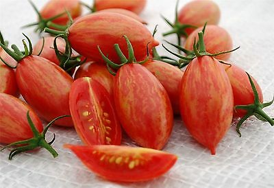 Tomato Pink Tiger - 5+ seeds - SPECIAL and FINE!