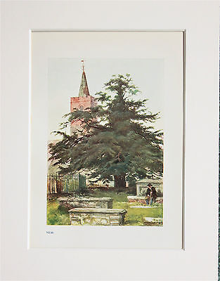 Yew Tree. - Mounted Antique Botanical Print, Colour Lithograph