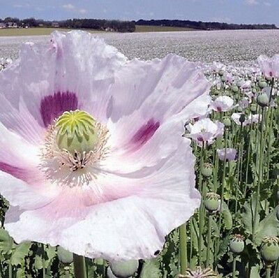Rare - *Izmir (Smirne) turkish* poppy - Papaver Somniferum - Grow all year