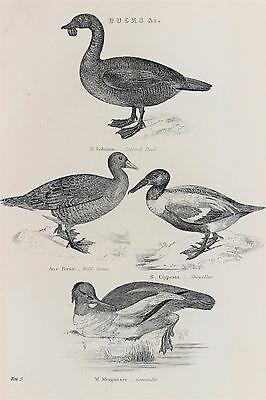 Ducks - Antique B/W Print Lithograph - c19th Encyclopaedia