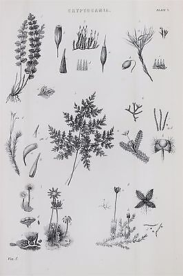 Cryptogam, Ferns, Plants - Antique B/W Print Lithograph - c19th Encyclopaedia..