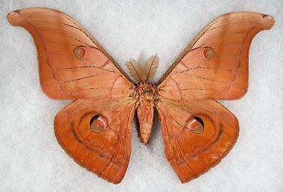 Insect/Moth/ Antheraea helferi borneensis - Male 6""