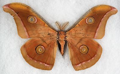 Insect/Moth/ Antheraea mylitte - Male 6""