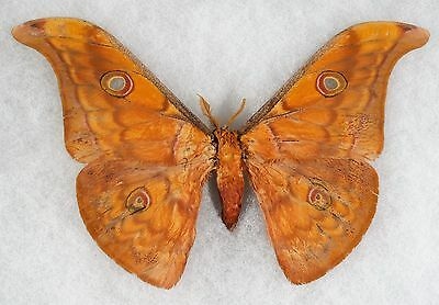 Insect/Moth/ Antheraea semperi - Male 5 1/4""