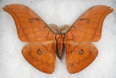 Insect/Moth/ Antheraea halconensis - Male 6.5""