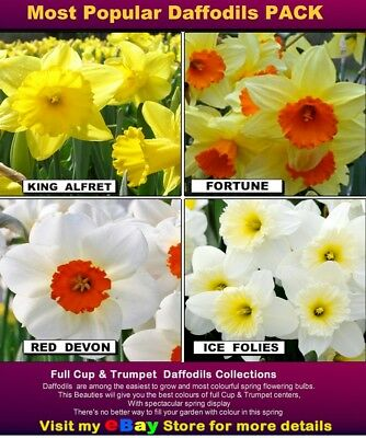 100+  DAFFODILS BULBS - Most Popular var/  NEW Season Bulbs - BULK LISTING