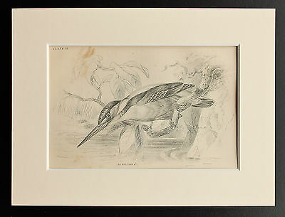 Kingfisher - Sepia Mounted Antique Bird Print 1880s Engraving by Lizars