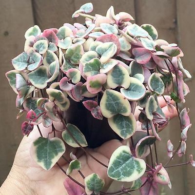 Variegated Chain of Hearts Ceropegia woodii 120mm pot RARE Succulents Succulent