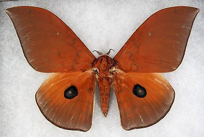 """Insect/Moth/ Moth ssp. - Male 6 3/4"""""""