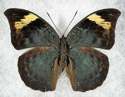 """Insect/Butterfly/ Butterfly ssp. - Female 2 5/8"""""""