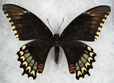 Insect/Butterfly/ Papilio astyalus pallas - Female