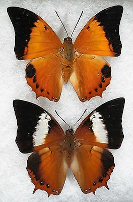 """Insect/Butterfly/ Butterfly ssp. - Pair 2.5"""""""