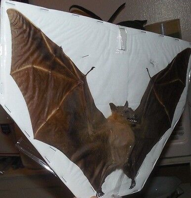 Large Cynopterus Minutus Minute Fruit Real Spread Bat Indonesia Taxidermy