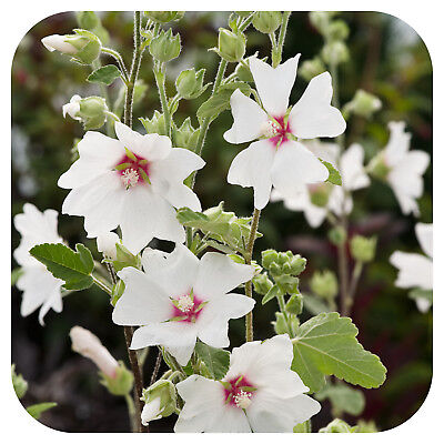 lavatera x clementii barnsley mallow plant in 3 5 pot. Black Bedroom Furniture Sets. Home Design Ideas