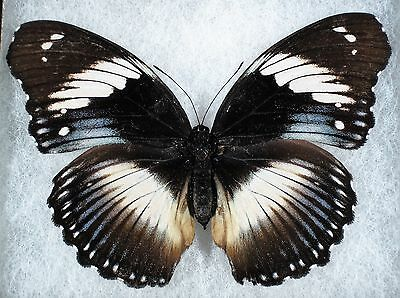 Insect/Butterfly/ Butterfly ssp. - Female 4""
