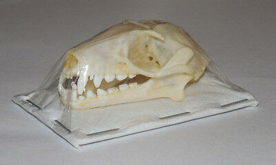 Rousettus Leschenaulti Real Bat Skull Indonesia Taxidermy