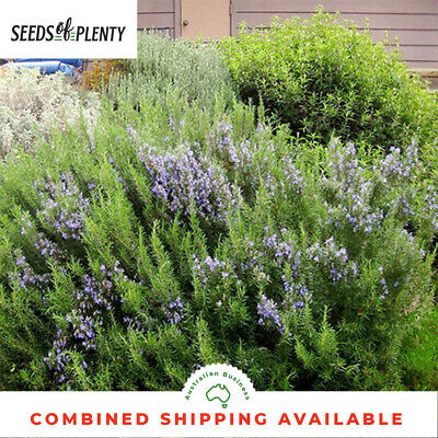 ROSEMARY -  (40 Seeds) ATTRACTIVE ORNAMENTAL Culinary Herb BULK