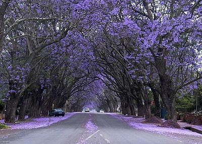 200+ Empress Tree Seeds, Royal Paulownia Tomentosa  Worlds Fastest Growing Tree