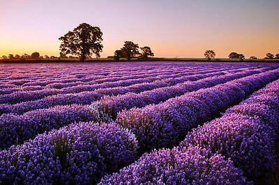 200Seeds Lavender Seeds Beautiful Flower Seeds Very Fragrant For Home Garden