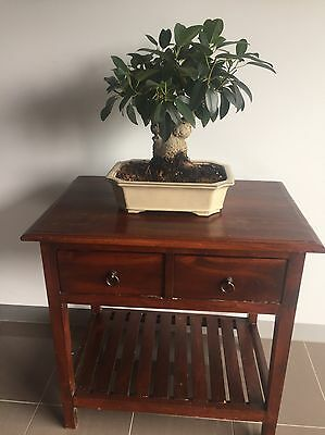 Bonsai Fig Tree (over 20 Years Old)