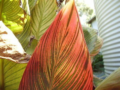 Canna Lily Rhizomes    Tropicana    Varigated / Red  Leaves