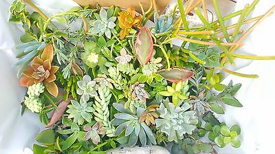 FREE POST 40 x Mixed Succulents Cacti Plant Cuttings Euphorbia Sedum Echeveria