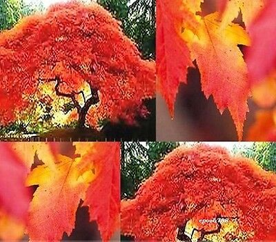 50 PCs. the American Red Maple Tree Seeds Bonsai For Garden Planting
