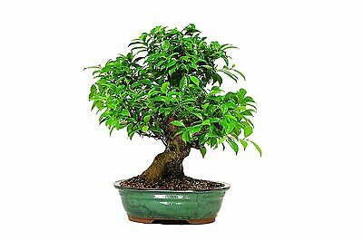 Brussels Golden Gate Ficus Bonsai Colors may vary