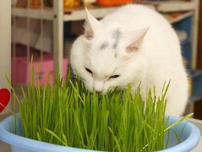 New 1Bag Harvested Cat Grass 30g approx 800 Seeds Organic Cat snack