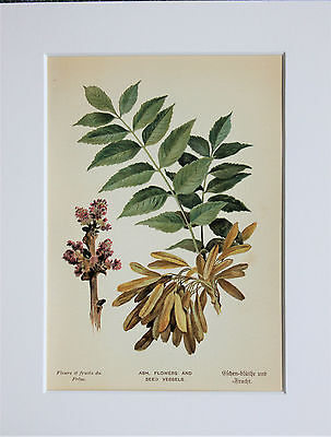 Ash Tree Flowers Seeds - Mounted Antique Botanical Print, Colour Lithograph