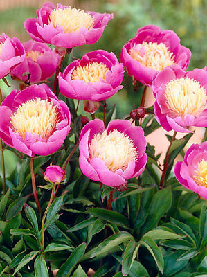 Lovely Peony 'Bowl of Beauty' (Sections of roots) (Free UK Postage)