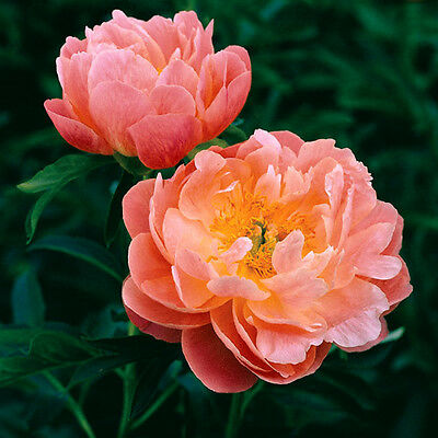 Peony 'Pink Hawaiian Coral' (Sections of roots) (Free UK Postage)