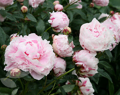 3 x Favourite Peony 'Sarah Bernhardt' (Sections of roots) (Free UK Postage)