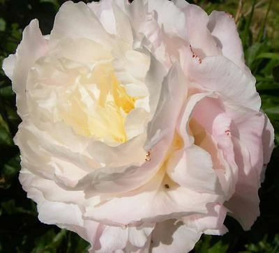 1 x Cream Peony 'Shirley Temple' (sections of bare root) (Free UK postage)