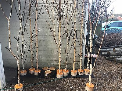 Decorative logs fantastic birch tree tops