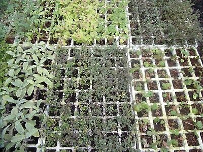 Pick & Mix Mixed Herbs Mint Plug Plants Post only £2.90 for any Quantity A to M