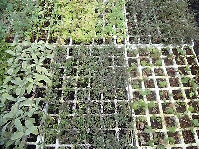 Pick & Mix Mixed Herbs Mint Plug Plants Post only £2.90 for any Quantity N to Z