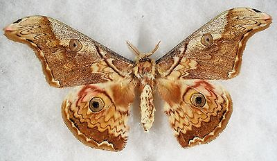 Insect/Moth/ Moth ssp. - Male 5.5""