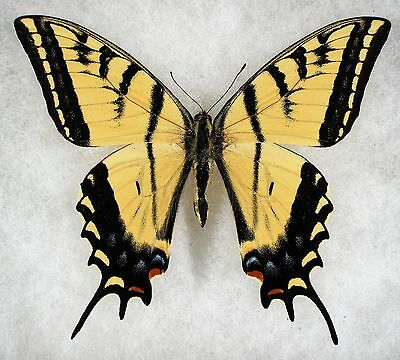 Insect/Butterfly/ Papilio multicaudata - Male 4""