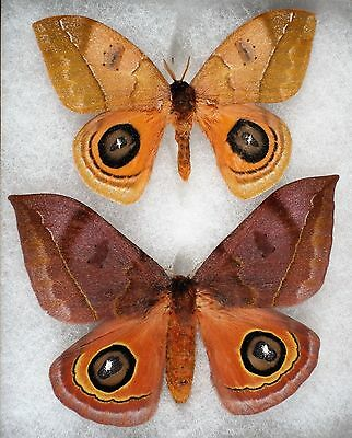 Insect/Moth/ Moth ssp. - Pair 4""