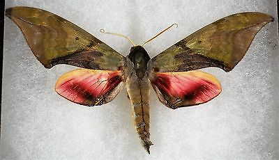 Insect/Moth/ Moth ssp. - Male 4.5""