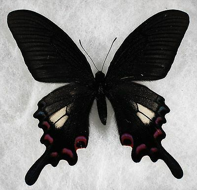 "Insect/Butterfly/ Papilio syfanius - Male 3.5"" Fantastic Color"