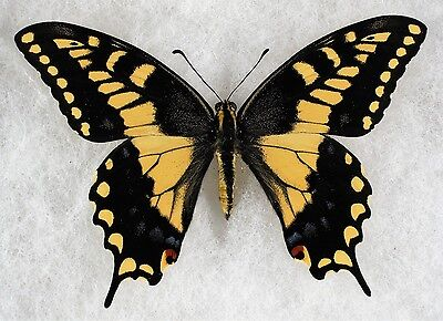 Insect/Butterfly/ Papilio machaon brucei - Male 3.5""
