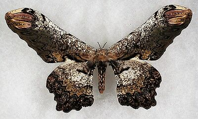 Insect/Moth/ Loxolomia serpentina - Male 5""
