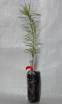 Douglas Fir, Pseudotsuga Menziesii, Christmas Tree, Container Grown Plug Plants.