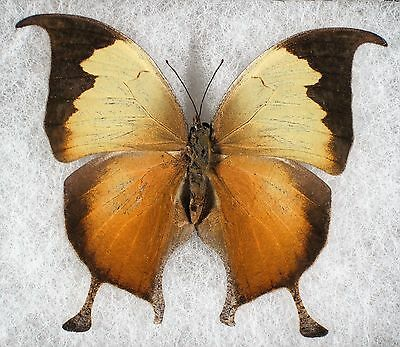 Insect/Butterfly/ Anaea electra - Male