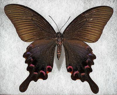 """Insect/Butterfly/ Papilio bianor ssp. - Female 3 3/4"""""""