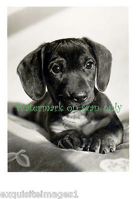 Antique Photo~Cute Dachshund Puppy Dog Portrait~ NEW Large Note Cards